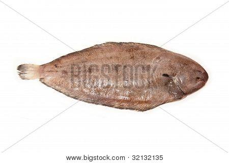 Dover sole (Solea solea) fish