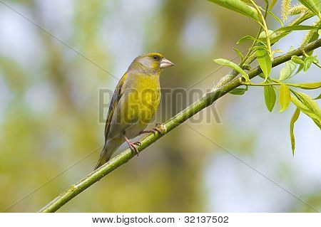 a male greenfinch on a branch / Carduelis chloris