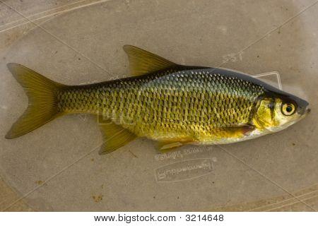 Minnow, Baitfish (Golden Shiner)