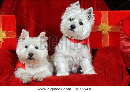 Dos West Highland Terriers en Navidad