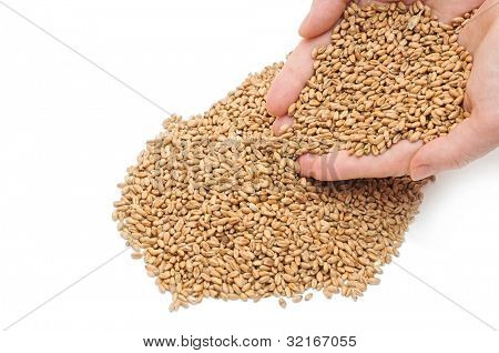fistful of wheat grains on white background
