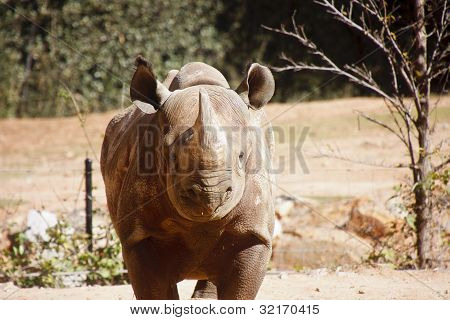 Rhinocerous Straight On