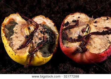 Rotten Apples With Worms