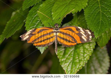 Danalid Butterfly (lycorea Cleobaea)
