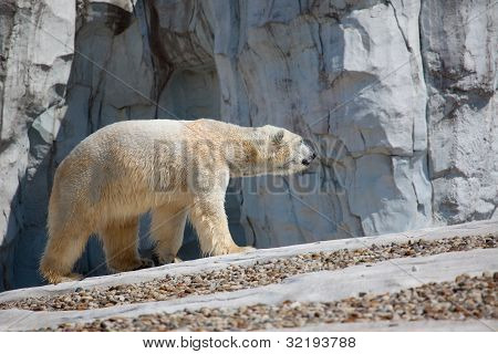 Polar Bear Walking