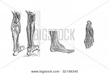 3 Views Of The Human Leg And Foot