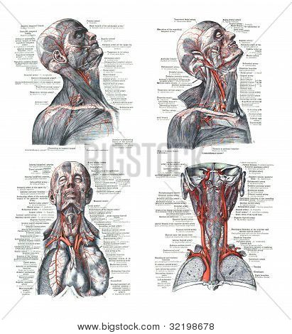 4 Views Of The Human Head, Torso  And Lungs