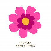 Pink Cosmos Flat Vector Botanical Illustration. Hand Drawing Of Exotic, Tropical Flower. Isolated Pl poster