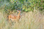 Male Of Impala Antelope, Aepyceros Melampus, Caprivi Strip Game Park, Bwabwata National Park, Namibi poster