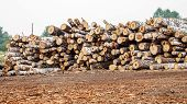 Birch Logs Ready For Transportation In Logging In Russian Siberia Outdoor On Summer Day poster