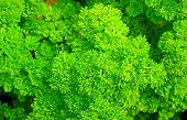 Curly Parsley Leaves poster