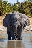 Majestic African Elephant Drink Water On Waterhole In Savuti Chobe National Park, Botswana Safari Wi poster