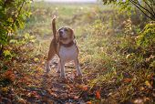 Portrait Of A Dog Breed Beagle In The Autumn Park At Sunset. Beagle On A Background Of Bright Yellow poster