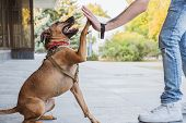 Funny And Cheerful Dog Doing high Five With The Owner. Dog Care, Upbringing And Bonding:  Happy Mi poster