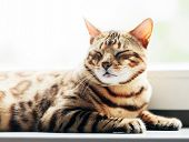 Bengal cat resting and relaxing while lying on a window sill at home. Natural portrait poster