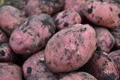 Large Crop Of Purple Potatoes. Very Large Variety. poster