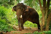 Asian Elephant - Elephas Maximus In The Thai Jungle, Also Called Asiatic Elephant, Only Living Speci poster