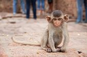 Cute baby monkey playing on the side of the road. Macaque portrait. Monkey life among people in Asia poster