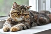 Brown Exotic Shorthair Kitten Lying By The Window And Looks Away. Toddler Animals And Persian Cats C poster