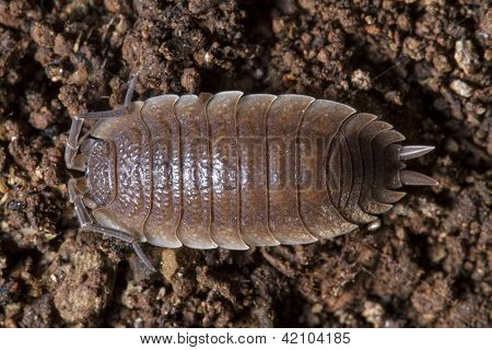 Pillbug On The Dirt