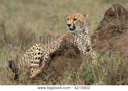Cheetah Acinonyx Jubatus In The Serengeti