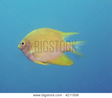 Beautiful Yellow Fish