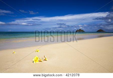 Plumeria Blossoms On Lanikai Beach, Oahu, Hawaii