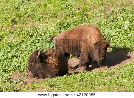 North American Bison in San Francisco's Golden Gate park