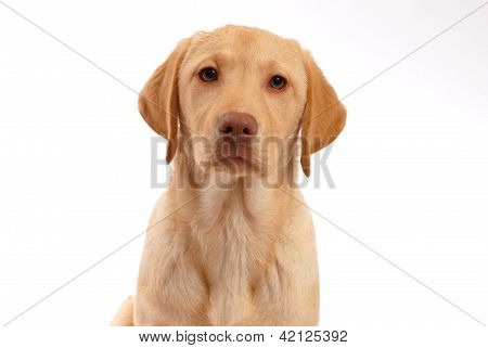 studio portrait of a yellow labrador retrievers