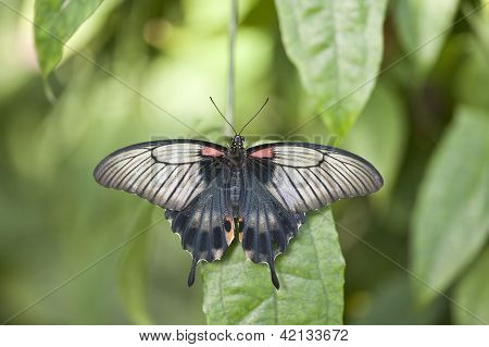Asian Swallowtail Butterfly