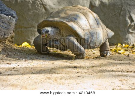 Walking Tortoise