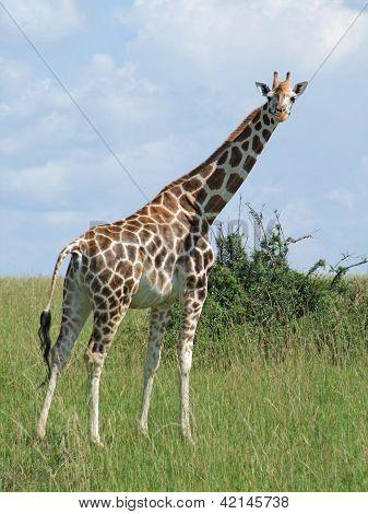 Giraffe In Sunny African Ambiance