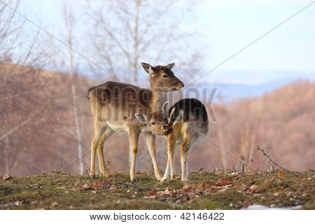 Deer Doe And Calf