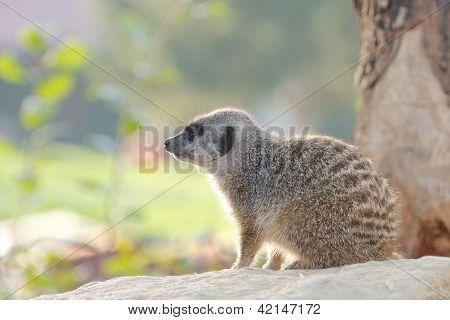 Cute Meerkat In The Sun