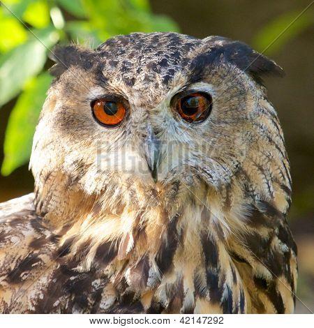 Eagle Owl Frontal
