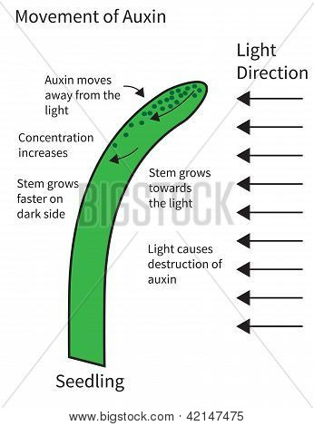 Movement Of Auxins In A Seedling