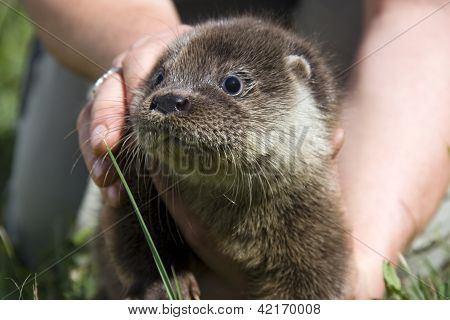 Orphaned otter