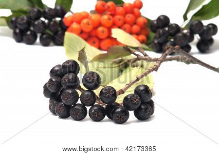Aronia And Ashberry.