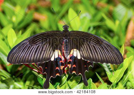 Common Mormon Butterfy