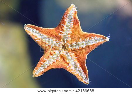 Underside Of The Starfish