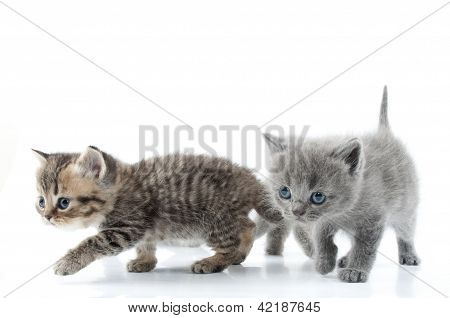 Two Kittens Walking Towards Together. Studio Shot. Isolated Over White.