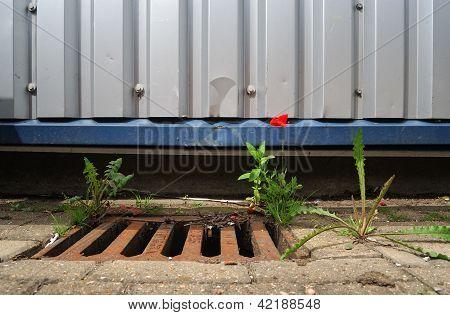 Poppy in a Drain