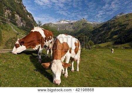 Alpen Cows