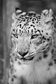 stock photo of panthera uncia  - Beautiful portrait of Snow Leopard Panthera Uncia Uncia big cat in captivity in black and white monochrome - JPG