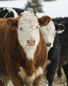 stock photo of hereford  - Hereford steers in a feed lot in the winter