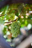 Постер, плакат: Белый виноград в винограднике