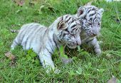 stock photo of bengal cat  - 2 baby white tiger playing on grass - JPG