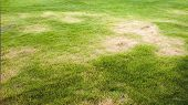 stock photo of sunburn  - fresh trimmed green lawn with yellow sunburn spots - JPG