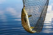 foto of trout fishing  - Trout in scoopnet fishing from boat on lake Inari in Lapland  - JPG
