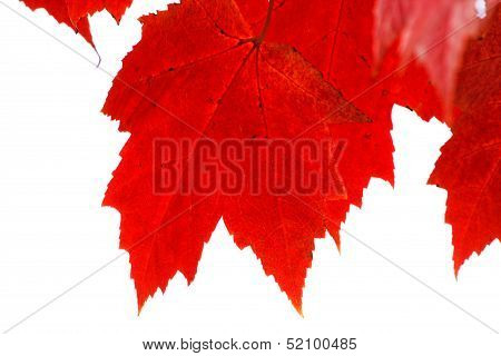 Red Leaves Closeup And Isolated